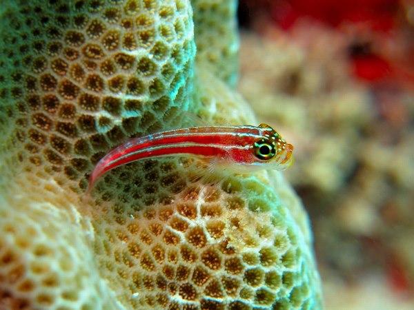 タテジマヘビギンポと珊瑚