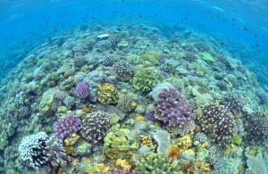 水納島 珊瑚礁の群生