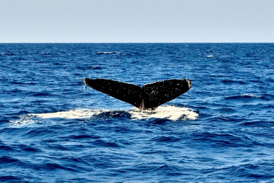 沖縄 冬のザトウクジラ