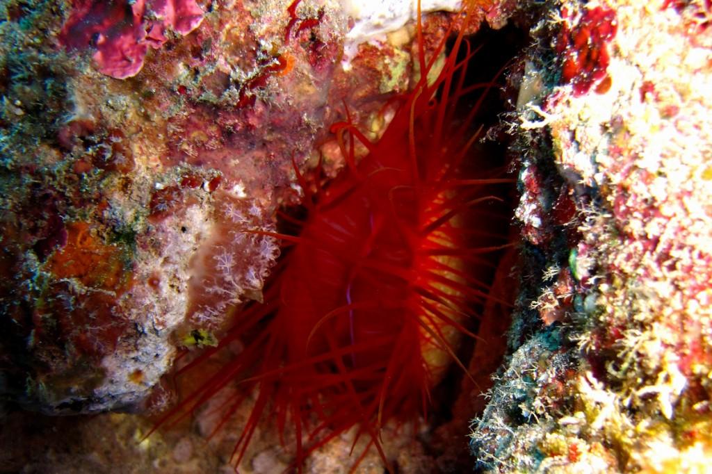 水中の稲妻貝 ウコンハネガイ