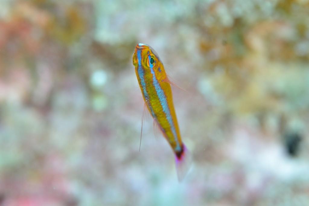仰向けに泳ぐ魚 アオギハゼ