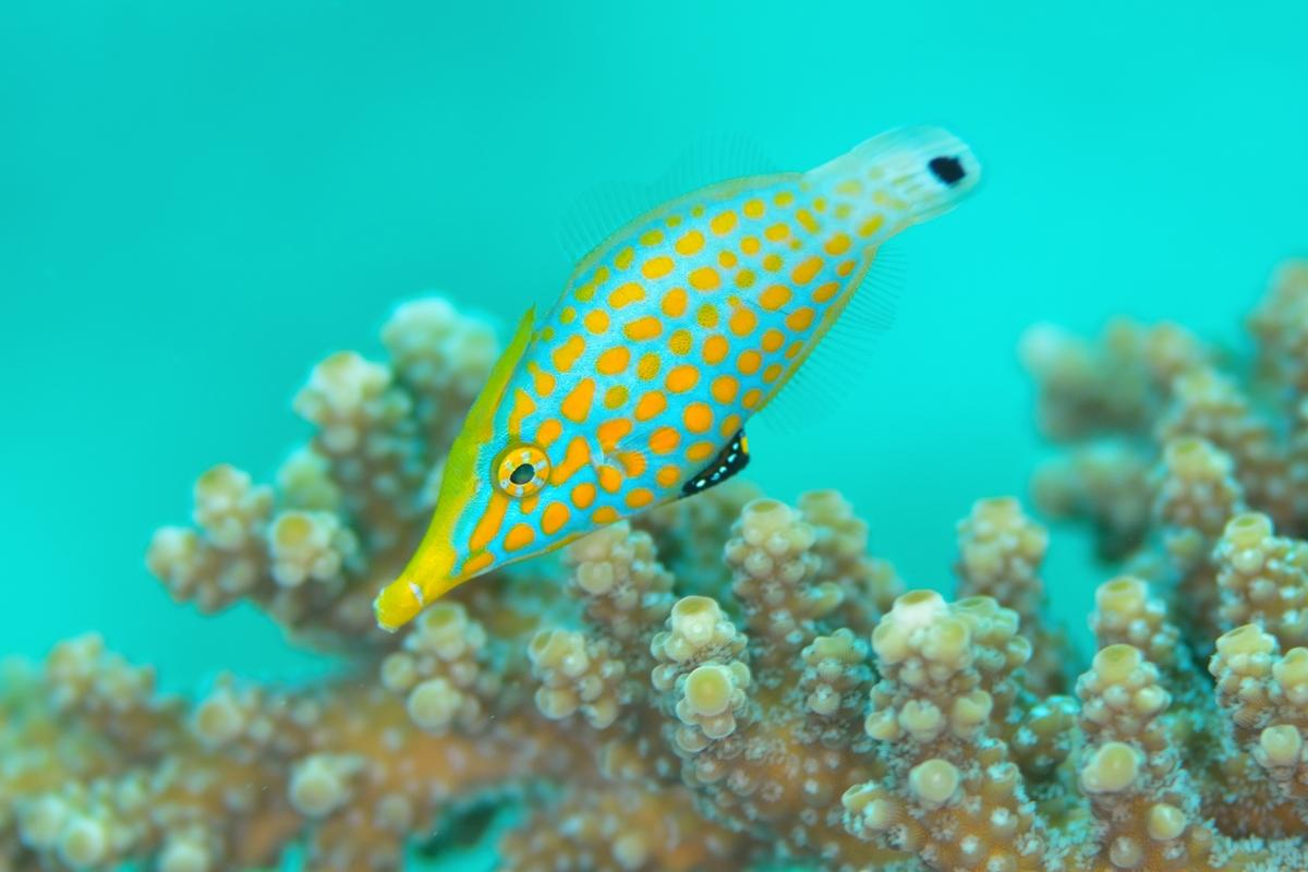 テングカワハギと珊瑚礁