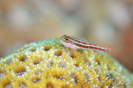 タテジマヘビギンポと珊瑚礁