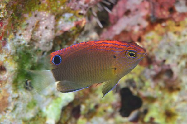 メガネスズメダイの幼魚