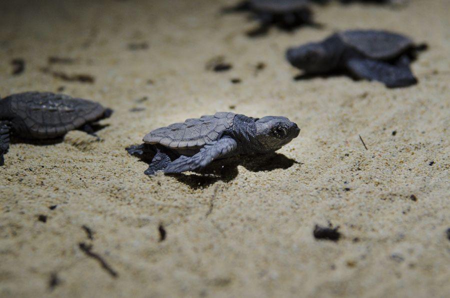 ウミガメの孵化と放流 3