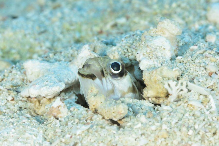 砂地に潜むジョーフィッシュ