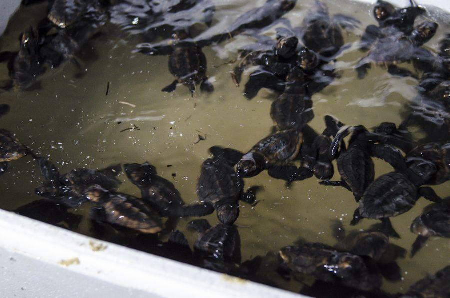 ウミガメの孵化と放流 4