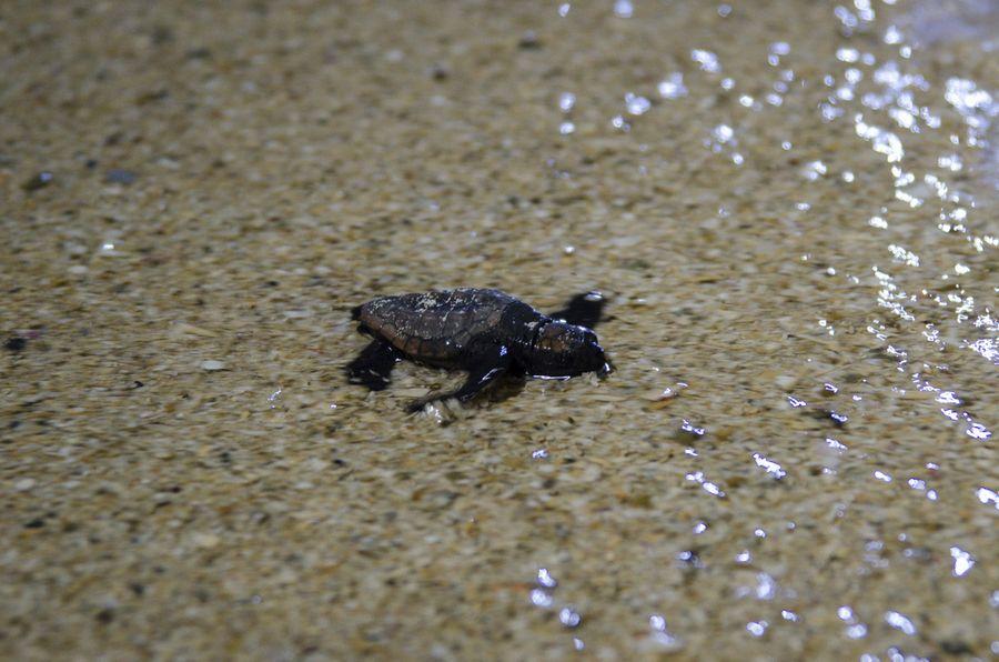 ウミガメの孵化と放流 6