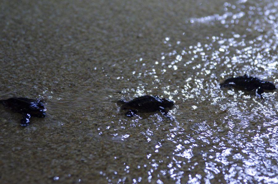 ウミガメの孵化と放流 7