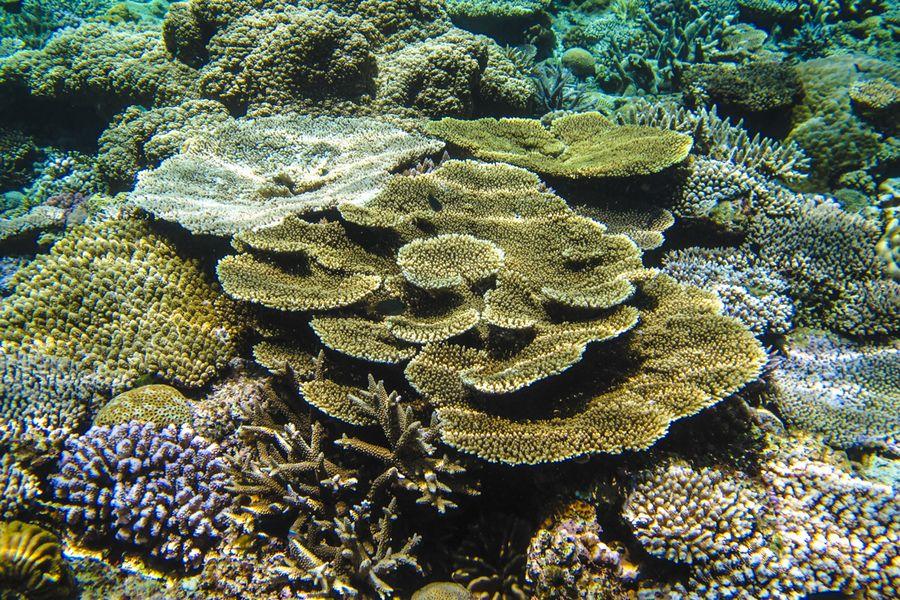 水納島のテーブルサンゴ