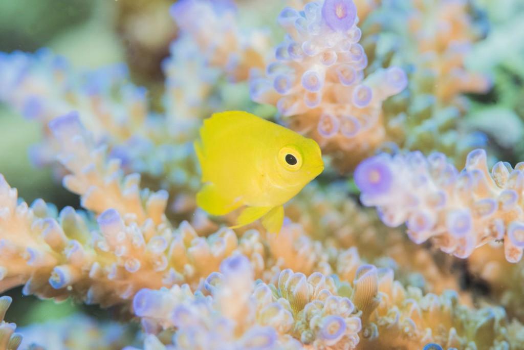 珊瑚に隠れるネッタイスズメダイの幼魚