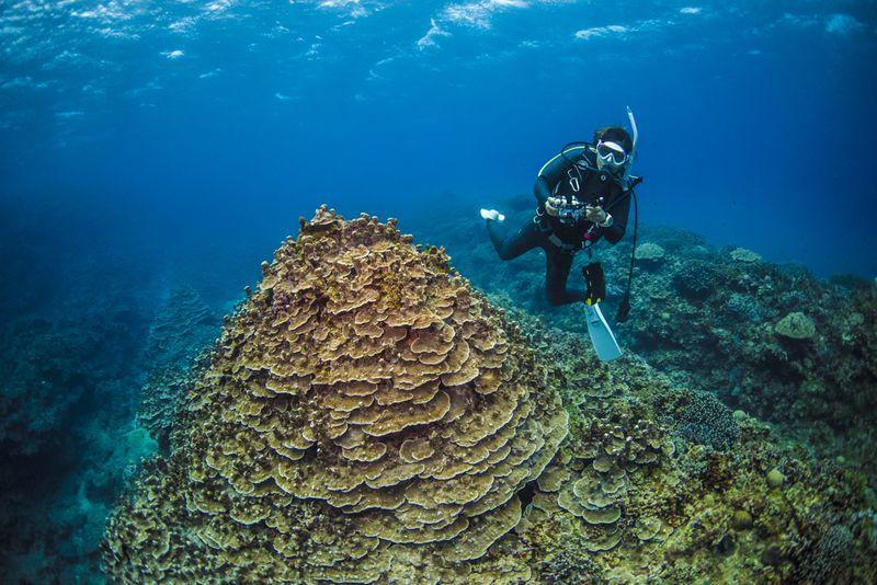 パラオハマサンゴの群生とダイバー