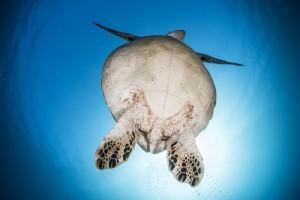 太陽とアオウミガメのお腹