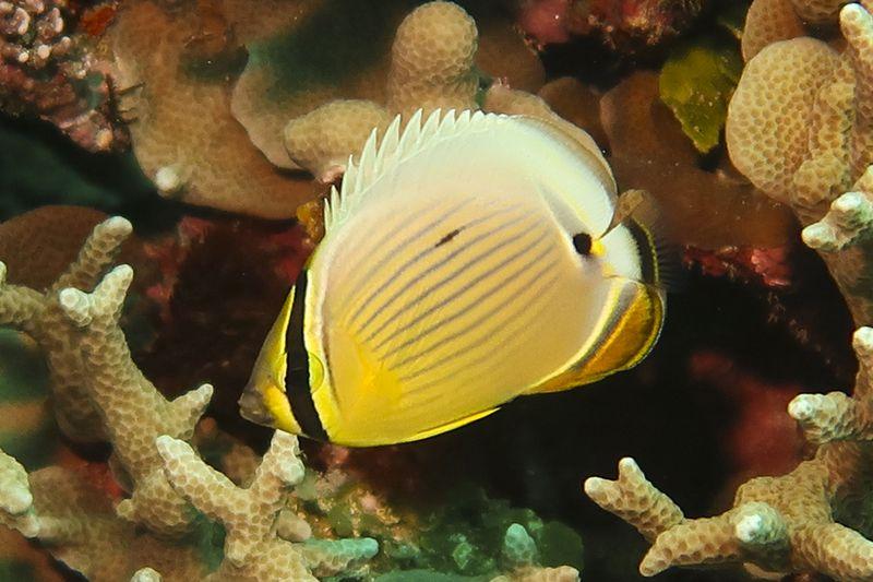 ミスジチョウチョウウオの幼魚
