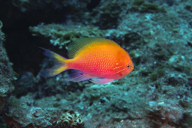 ハナゴンベ 本種のみの1属1種