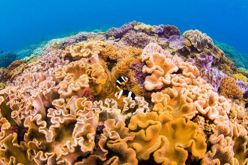 沖縄の都会に残る珊瑚礁の群生とクマノミ