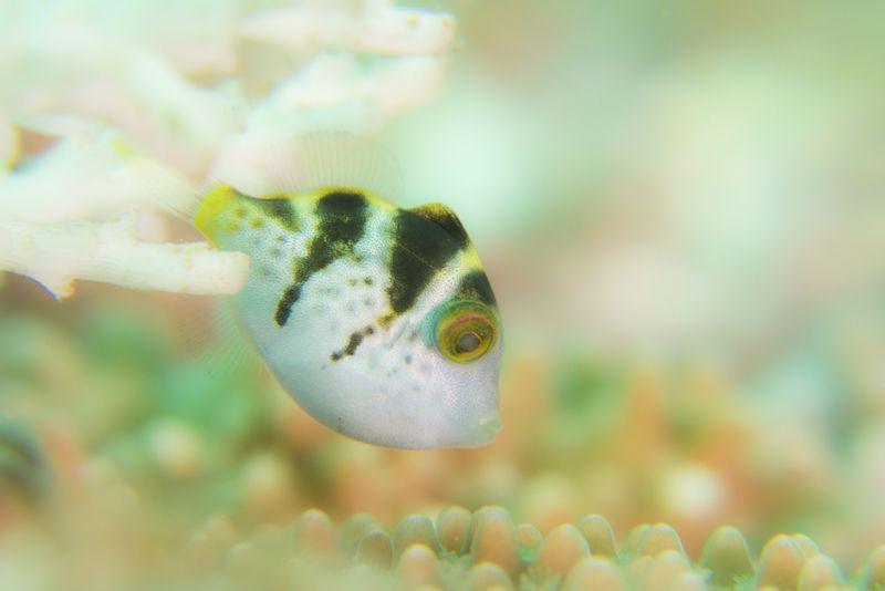 シマキンチャクフグの幼魚