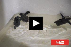 恩納村シークレットビーチ 海亀の孵化 動画 2017年7月30日