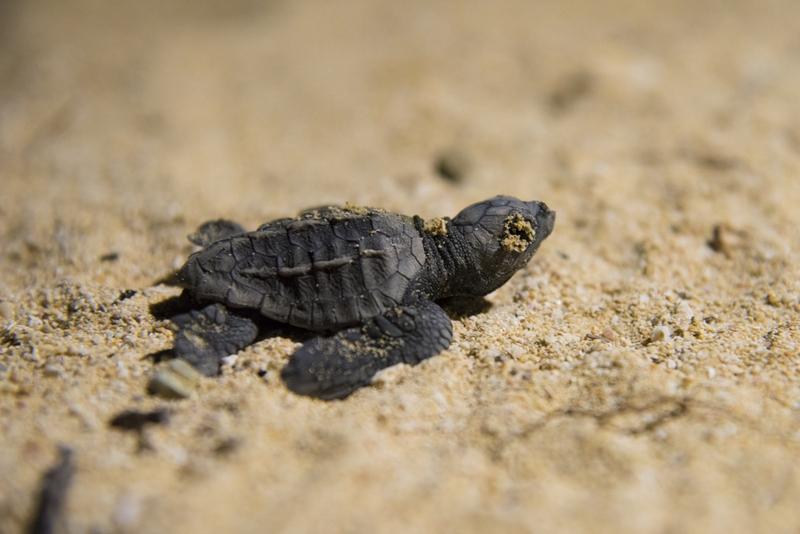 恩納村シークレットビーチ 海亀の孵化 2 2017年7月30日
