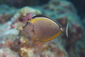 ミヤコテングハギの幼魚