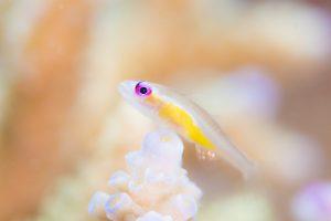 アカメハゼと珊瑚