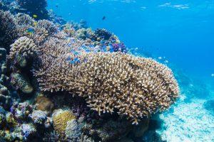 デバスズメダイの群れと珊瑚礁