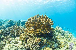 水納島のハナヤサイサンゴ