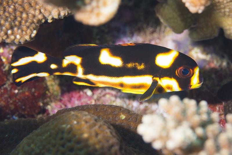 ムスジコショウダイの幼魚