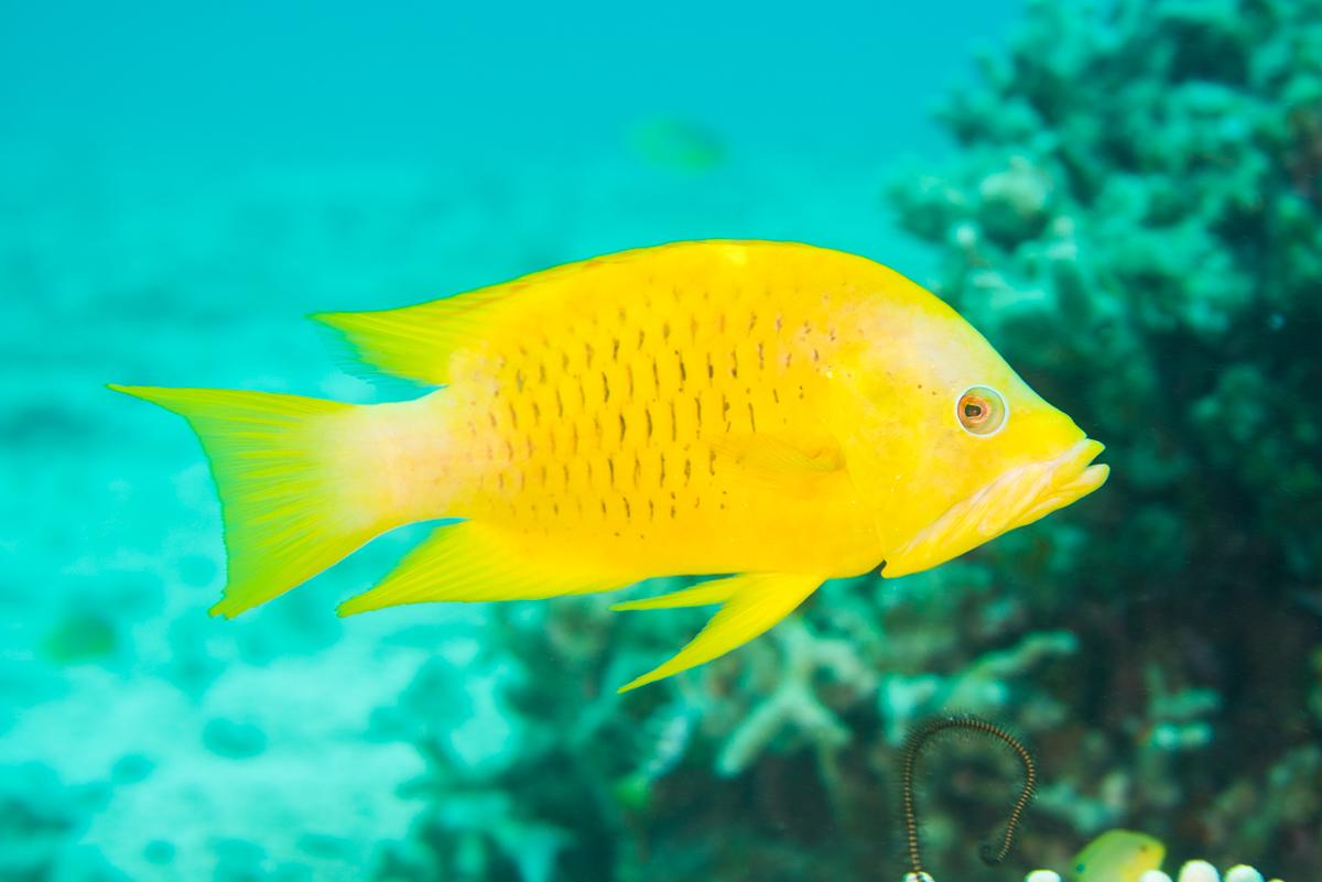 ギチベラの黄化個体