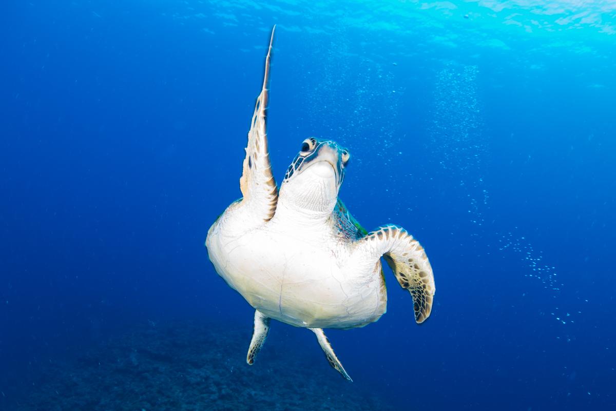 ウミガメの青抜き ②