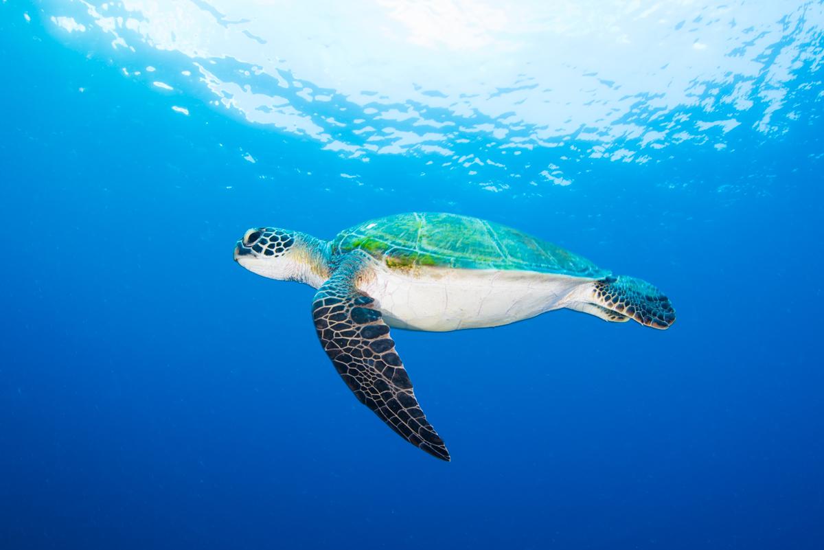 ウミガメの青抜き