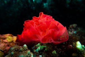 ミカドウミウシの卵・水中の赤い薔薇