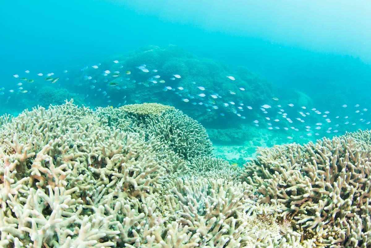 【辺野古・大浦湾】デバスズメダイと珊瑚礁の群生