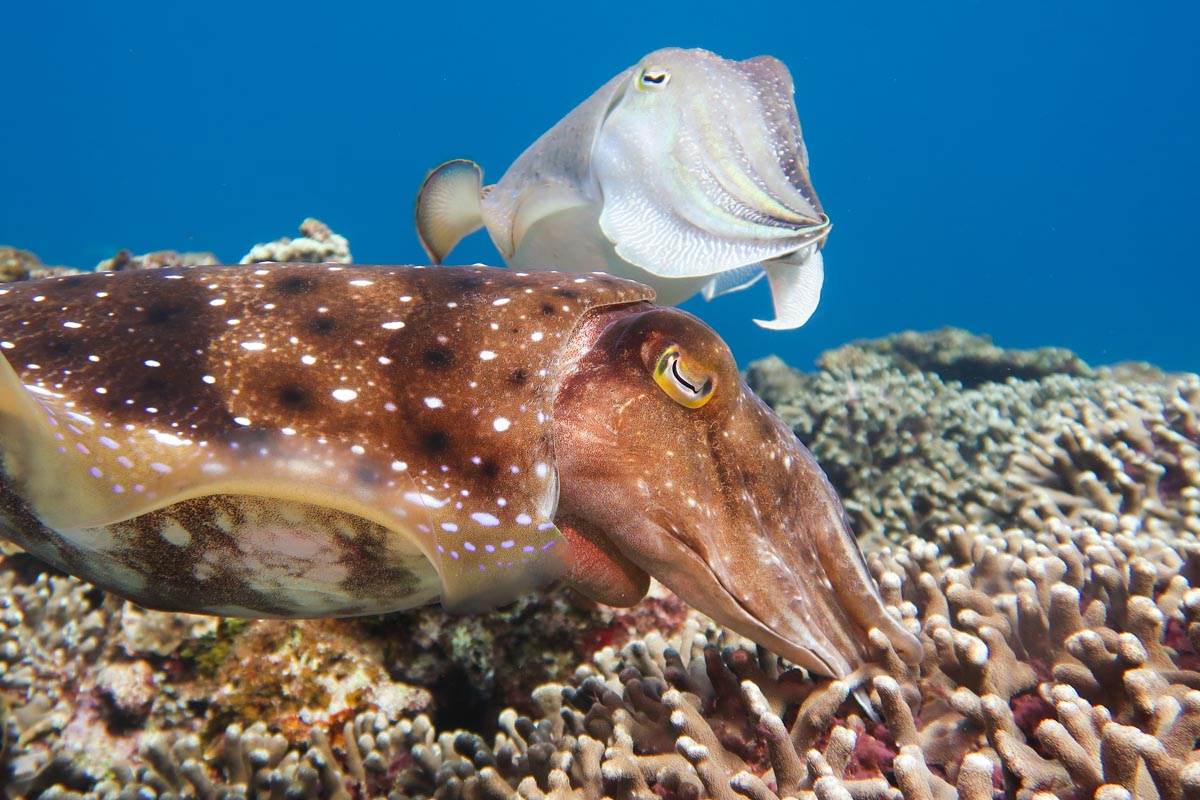 コブシメの産卵・金武岬(エッグ岩)