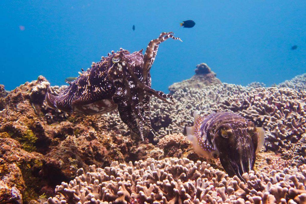 コブシメの産卵動画・エッグ岩