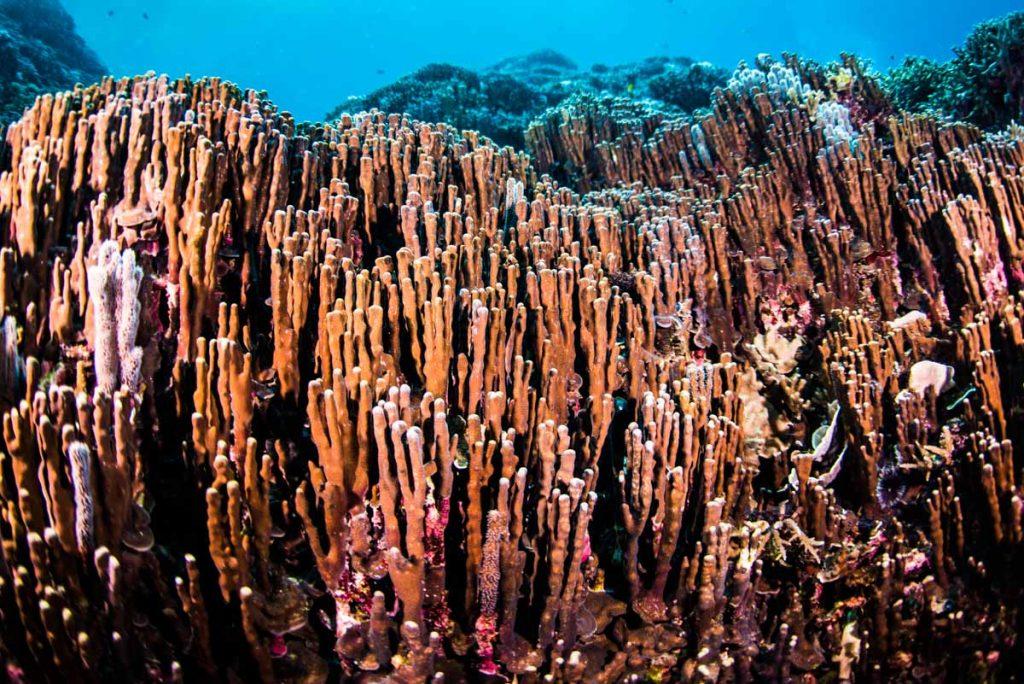 辺野古・大浦湾 世界的にも貴重なアオサンゴ